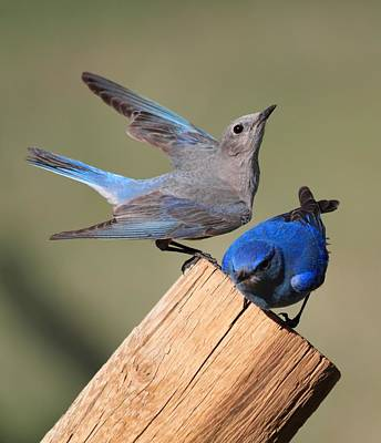 Birds Photograph - A Great Pair by Shane Bechler