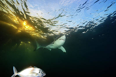 Neptune Island Photograph - A Great White Shark Swims In Waters by Brian Skerry