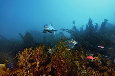 Neptune Islands Photograph - A Great White Shark Swims Past A Ray by Brian Skerry