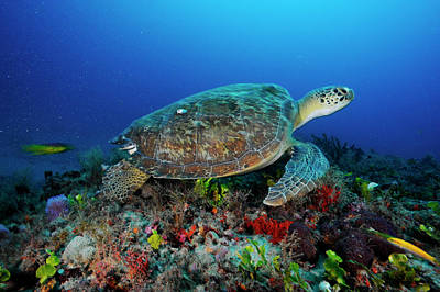 Green Sea Turtle Photograph - A Green Sea Turtle Swims Off The Esso by David Doubilet