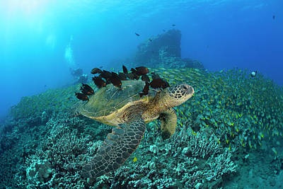 A Green Sea Turtlec  Chelonia Mydas Art Print
