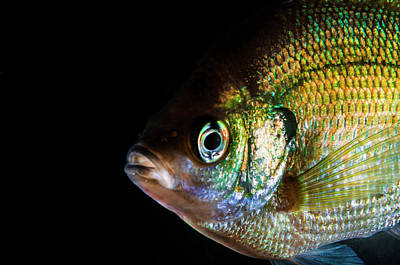 Photograph - A Green Sunfish by Jennifor Idol
