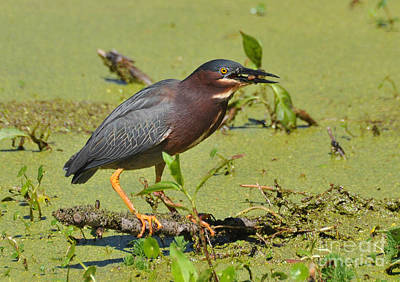 Photograph - A Greenbacked Heron's Breakfast by Kathy Baccari