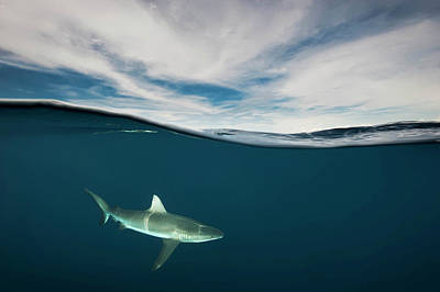 A Grey Reef Shark Swims In Kimbe Bay Art Print by David Doubilet