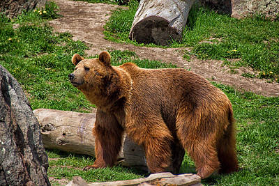 Photograph - A Grizzly Bear by Christy Patino