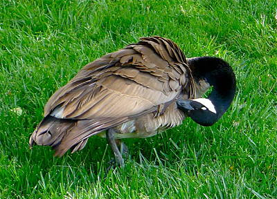 Photograph - A Grooming Canada Goose by Denise Mazzocco