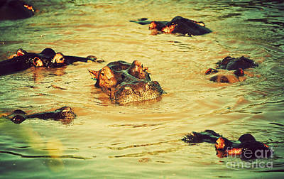 Head Photograph - A Group Of Hippos In A River. Tanzania by Michal Bednarek