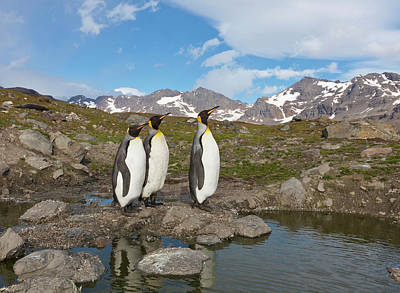 King Penguin Photograph - A Group Of Penguins Standing Together by Hugh Rose