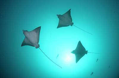 Spotted Eagle Ray Photograph - A Group Of Spotted Eagle Rays by Scubazoo