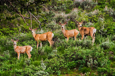 Mule Deer Herd Photograph - A Group Of Young Mule Deer Bucks Painted Look by Martin Belan