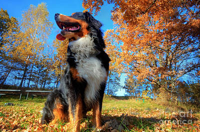 Joyful Photograph - A Happy Bernese Mountain Dog Outdoors by Michal Bednarek