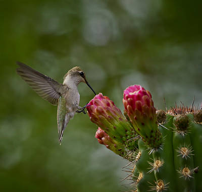 Photograph - A Happy Little Hummer  by Saija  Lehtonen