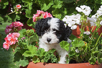 A Havanese Puppy In A Flower Pot Art Print