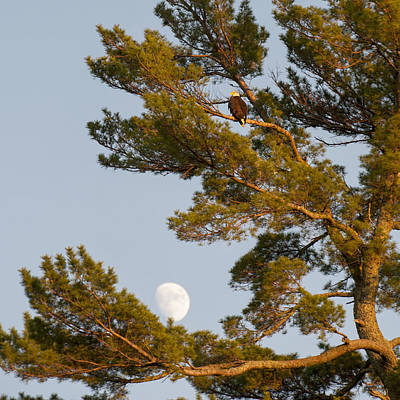 Keith Moon Photograph - A Hawk Sits In A Tree With The Moon In by Keith Levit
