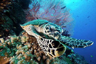 A Hawksbill Sea Turtle Swims In Kimbe Art Print by David Doubilet
