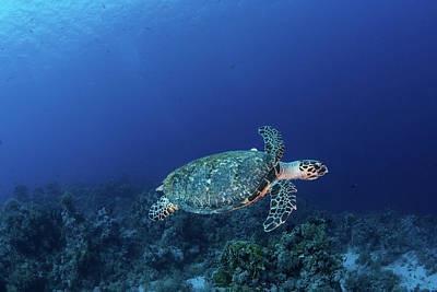Photograph - A Hawksbill Turtle On Sharks Reef by Brook Peterson