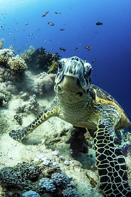 Photograph - A Hawksbill Turtle Pauses On A Coral by Brook Peterson