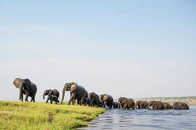 A Herd Of African Elephants Print by Peter Chadwick