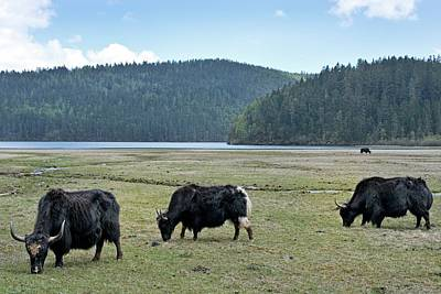 Yak Photograph - A Herd Of Yaks In Potatso National Park by Tony Camacho