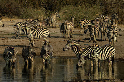 A Herd Of Zebras, Equus Quagga, Drink Art Print
