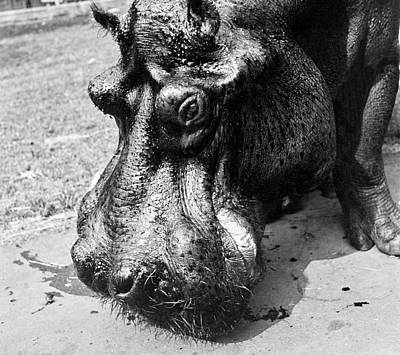 Zoo Photograph - A Hippopotamus At The Bronx Zoo by Toni Frissell