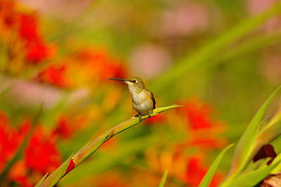 Tiny Bird Photograph - A Humming Bird Perched by Jeff Swan