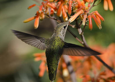Photograph - A Hummingbird Feast  by Saija  Lehtonen