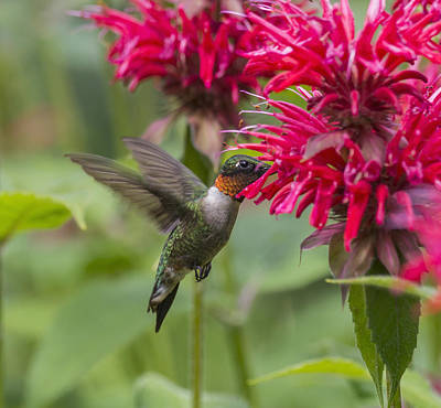A Hummingbird Hovers By A Bright Pink Print by Julie DeRoche