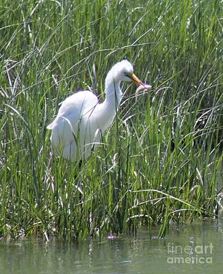 Photograph - A Hungry Great Egret by Spirit Baker