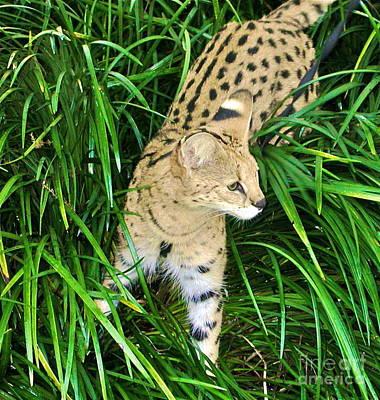 Photograph - A Jaguar Hunting by Joan McArthur