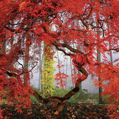 Red Photograph - A Japanese Maple Tree by Richard Felber