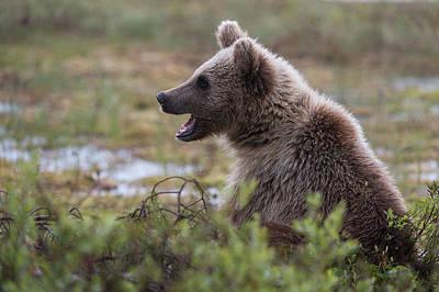 A Juvenile European Brown Bear, Ursus Art Print