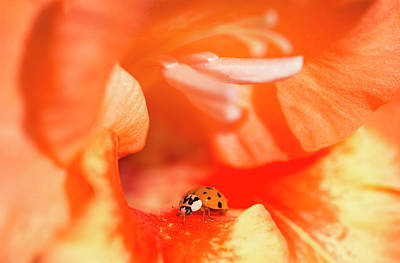 A Ladybug Beetle Searches For Prey Print by Robert L. Potts