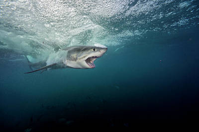 Neptune Island Photograph - A Large Great White Shark Explodes by Brian Skerry
