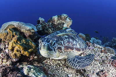 Green Sea Turtle Photograph - A Large Green Sea Turtle Lays by Ethan Daniels