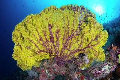 Sea Fan Photograph - A Large Yellow Sea Fan by Scubazoo