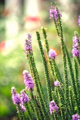 A Lavender Garden Art Print by Chastity Hoff