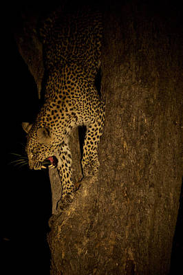 A Leopard Descends A Tree And Growls Art Print by Steve Winter