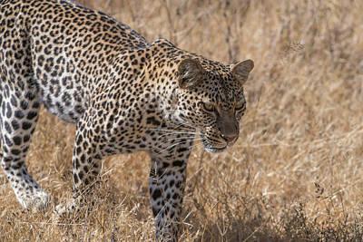 Animal Behavior Photograph - A Leopard, Panthera Pardus by Tom Murphy