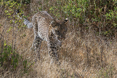 Animal Behavior Photograph - A Leopard, Panthera Pardus, Walking by Tom Murphy