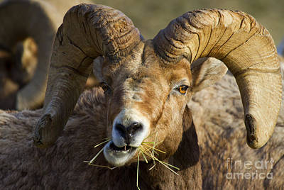 Bighorn Sheep Photograph - A Light Lunch by Mike  Dawson