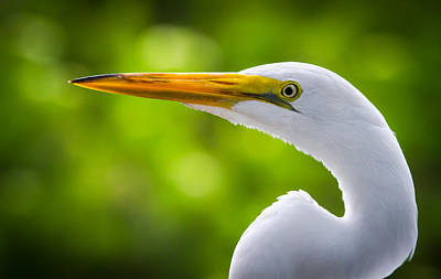 A Lighter Version Of A Snowy Egret Print by Andres Leon