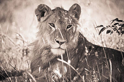 A Lioness Lays In The Shade Kenya Art Print by David DuChemin