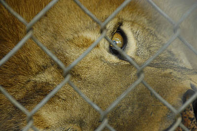 Photograph - A Lions Eye by Charles Beeler