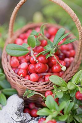 A Little Basket Of Lingon Berries In A Forest Art Print