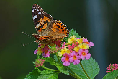 Photograph - A Little Brown Butterfly by Sandra Clark