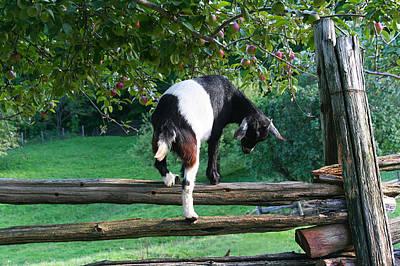Photograph - A Little Goat by Kathryn McBride