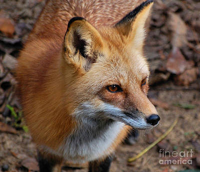 Photograph - A Little Red Fox by Kathy Baccari