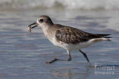 Photograph - A Little Runner - Black-bellied Plover by Meg Rousher