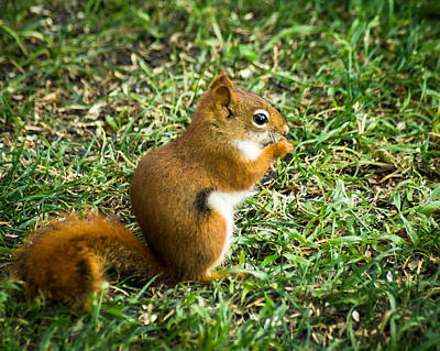 Photograph - A Little Squirrelly by Bill Pevlor